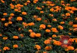 Image of Marigolds in bloom Washington DC USA, 1974, second 49 stock footage video 65675032288