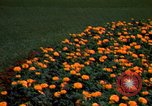 Image of Marigolds in bloom Washington DC USA, 1974, second 50 stock footage video 65675032288