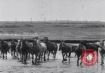 Image of Horse buyers Chincoteague Island Virginia USA, 1931, second 35 stock footage video 65675040715