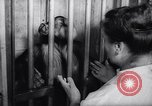 Image of chimpanzees Rome Italy, 1962, second 26 stock footage video 65675040906