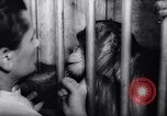 Image of chimpanzees Rome Italy, 1962, second 40 stock footage video 65675040906