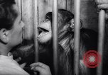 Image of chimpanzees Rome Italy, 1962, second 45 stock footage video 65675040906