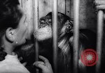 Image of chimpanzees Rome Italy, 1962, second 46 stock footage video 65675040906