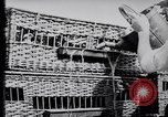 Image of Pigeons Selby England United Kingdom, 1933, second 16 stock footage video 65675041255