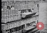 Image of Pigeons Selby England United Kingdom, 1933, second 19 stock footage video 65675041255