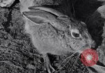 Image of Jack rabbits during dustbowl Texas United States USA, 1936, second 34 stock footage video 65675041297