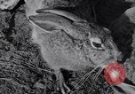 Image of Jack rabbits during dustbowl Texas United States USA, 1936, second 35 stock footage video 65675041297