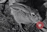Image of Jack rabbits during dustbowl Texas United States USA, 1936, second 36 stock footage video 65675041297