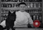 Image of Scottish Terrier New York City USA, 1936, second 12 stock footage video 65675041299