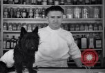 Image of Scottish Terrier New York City USA, 1936, second 13 stock footage video 65675041299