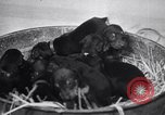 Image of Doberman Pinscher Vancouver British Columbia Canada, 1947, second 4 stock footage video 65675041344