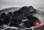 Image of Doberman Pinscher Vancouver British Columbia Canada, 1947, second 5 stock footage video 65675041344