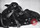 Image of Doberman Pinscher Vancouver British Columbia Canada, 1947, second 33 stock footage video 65675041344
