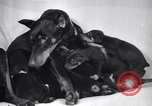 Image of Doberman Pinscher Vancouver British Columbia Canada, 1947, second 34 stock footage video 65675041344