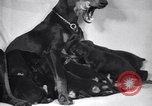 Image of Doberman Pinscher Vancouver British Columbia Canada, 1947, second 37 stock footage video 65675041344