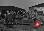 Image of Zebras and horses in circus Sarasota Florida USA, 1930, second 12 stock footage video 65675041973