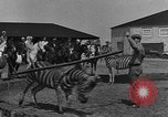 Image of Zebras and horses in circus Sarasota Florida USA, 1930, second 18 stock footage video 65675041973