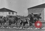Image of Zebras and horses in circus Sarasota Florida USA, 1930, second 19 stock footage video 65675041973
