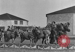 Image of Zebras and horses in circus Sarasota Florida USA, 1930, second 20 stock footage video 65675041973
