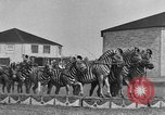 Image of Zebras and horses in circus Sarasota Florida USA, 1930, second 21 stock footage video 65675041973