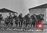 Image of Zebras and horses in circus Sarasota Florida USA, 1930, second 25 stock footage video 65675041973