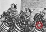 Image of Zebras and horses in circus Sarasota Florida USA, 1930, second 28 stock footage video 65675041973