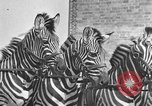 Image of Zebras and horses in circus Sarasota Florida USA, 1930, second 29 stock footage video 65675041973