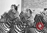 Image of Zebras and horses in circus Sarasota Florida USA, 1930, second 30 stock footage video 65675041973