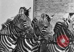 Image of Zebras and horses in circus Sarasota Florida USA, 1930, second 32 stock footage video 65675041973