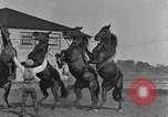 Image of Zebras and horses in circus Sarasota Florida USA, 1930, second 45 stock footage video 65675041973