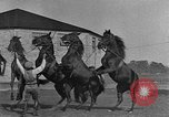 Image of Zebras and horses in circus Sarasota Florida USA, 1930, second 46 stock footage video 65675041973