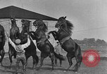 Image of Zebras and horses in circus Sarasota Florida USA, 1930, second 49 stock footage video 65675041973