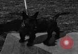 Image of Kennel Club dog show Westport Connecticut USA, 1930, second 35 stock footage video 65675042736