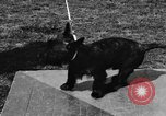 Image of Kennel Club dog show Westport Connecticut USA, 1930, second 37 stock footage video 65675042736