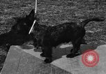 Image of Kennel Club dog show Westport Connecticut USA, 1930, second 38 stock footage video 65675042736