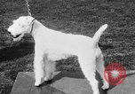 Image of Kennel Club dog show Westport Connecticut USA, 1930, second 45 stock footage video 65675042736