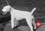 Image of Kennel Club dog show Westport Connecticut USA, 1930, second 46 stock footage video 65675042736