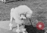 Image of Kennel Club dog show Westport Connecticut USA, 1930, second 49 stock footage video 65675042736