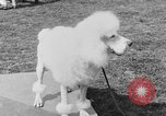Image of Kennel Club dog show Westport Connecticut USA, 1930, second 50 stock footage video 65675042736