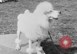 Image of Kennel Club dog show Westport Connecticut USA, 1930, second 52 stock footage video 65675042736