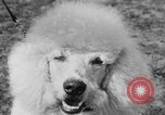 Image of Kennel Club dog show Westport Connecticut USA, 1930, second 54 stock footage video 65675042736