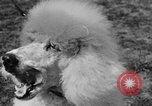 Image of Kennel Club dog show Westport Connecticut USA, 1930, second 56 stock footage video 65675042736
