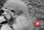 Image of Kennel Club dog show Westport Connecticut USA, 1930, second 58 stock footage video 65675042736