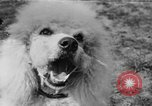 Image of Kennel Club dog show Westport Connecticut USA, 1930, second 60 stock footage video 65675042736