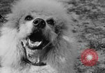 Image of Kennel Club dog show Westport Connecticut USA, 1930, second 61 stock footage video 65675042736