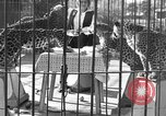 Image of leopards Los Angeles California USA, 1933, second 9 stock footage video 65675042746