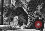 Image of leopards Los Angeles California USA, 1933, second 12 stock footage video 65675042746