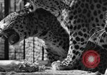 Image of leopards Los Angeles California USA, 1933, second 13 stock footage video 65675042746