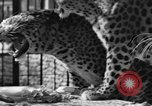 Image of leopards Los Angeles California USA, 1933, second 14 stock footage video 65675042746