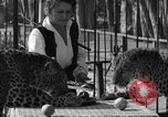 Image of leopards Los Angeles California USA, 1933, second 17 stock footage video 65675042746